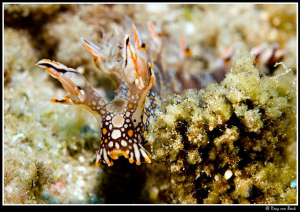 Bornella anguilla... by Dray Van Beeck 